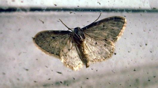 RIMG2999 rcrt mariposa durante una tormenta de polen